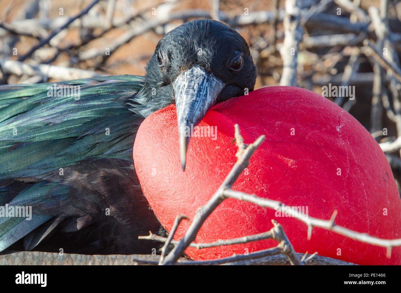 Closeup of adult male Magnificent frigate bird with large inflated gular pouch looking at camera from its nest. - Stock Image