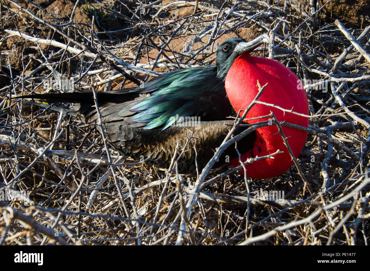 Male Magnificent frigate bird with inflated red throat pouch take its turn sitting on nest made of dry twigs on island in Galapagos. - Stock Image