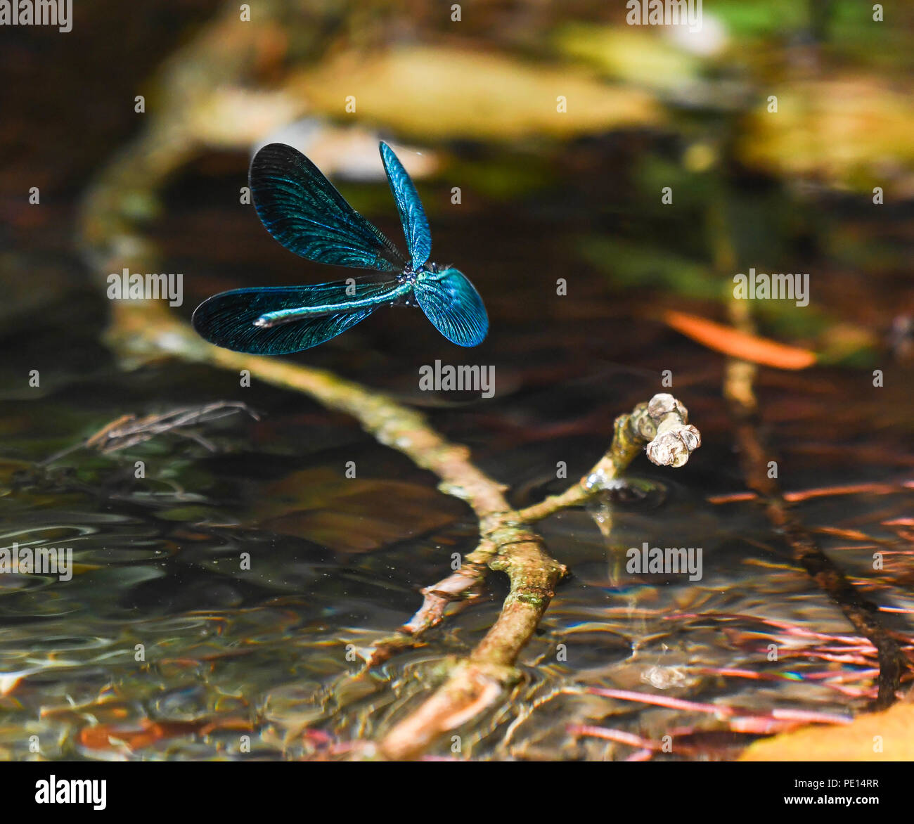 male beautifull demoiselle dragonfly in flight over the river Stock Photo