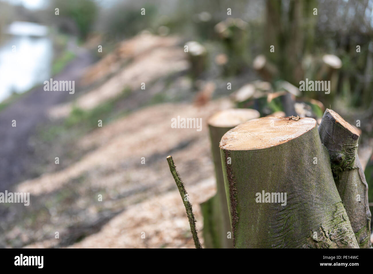 Tree stumps after trees have been cut down on the Macclesfield canal in Cheshire as part of a concervation based canal towpath maintenance programme - Stock Image