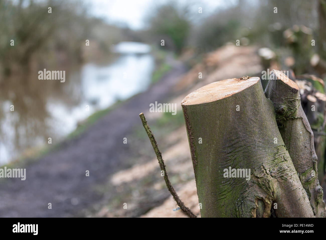 Tree stumps after trees have been cut down on the Macclesfield canal in Cheshire as part of a conservation based canal towpath maintenance programme - Stock Image
