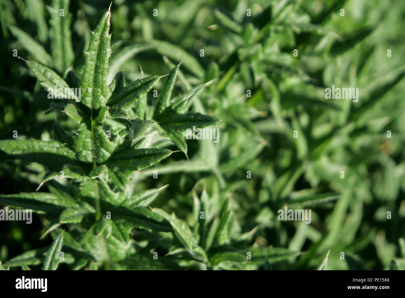 close up of thorny thistle leaves - Stock Image