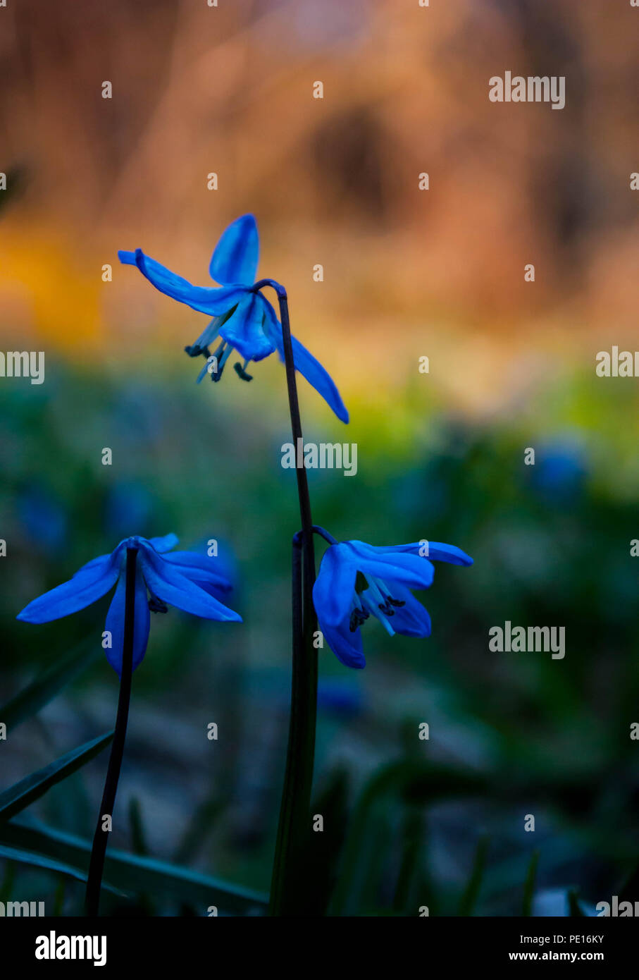 Blue snowdrop flowers growing in the forest in spring with textspace - Stock Image