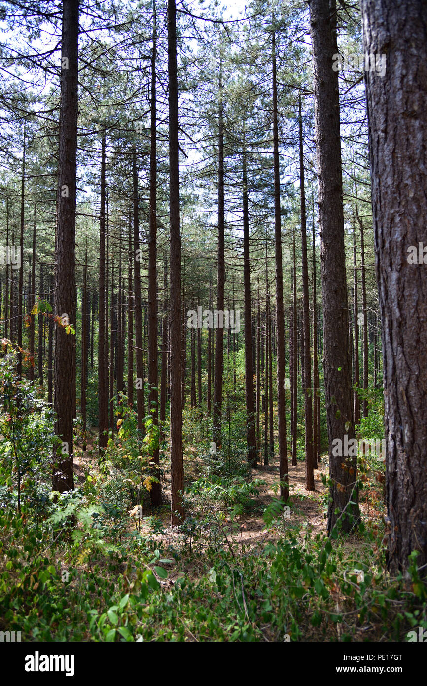 Pine trees in Dune forest - Stock Image