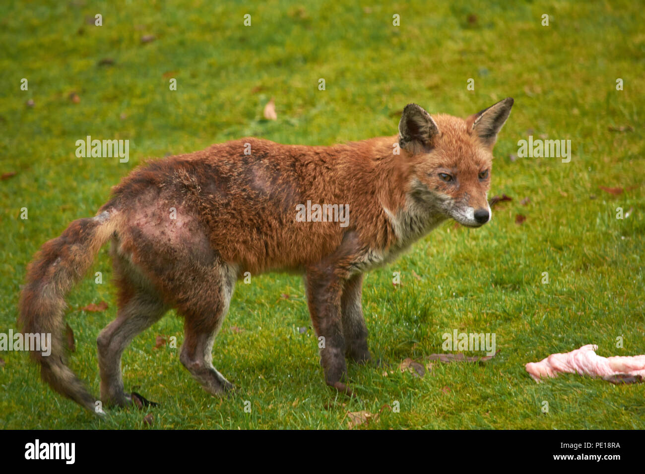Urban wild fox in back garden, fox, sick animal, wild animal, fox with skin problem,, hungry fox - Stock Image