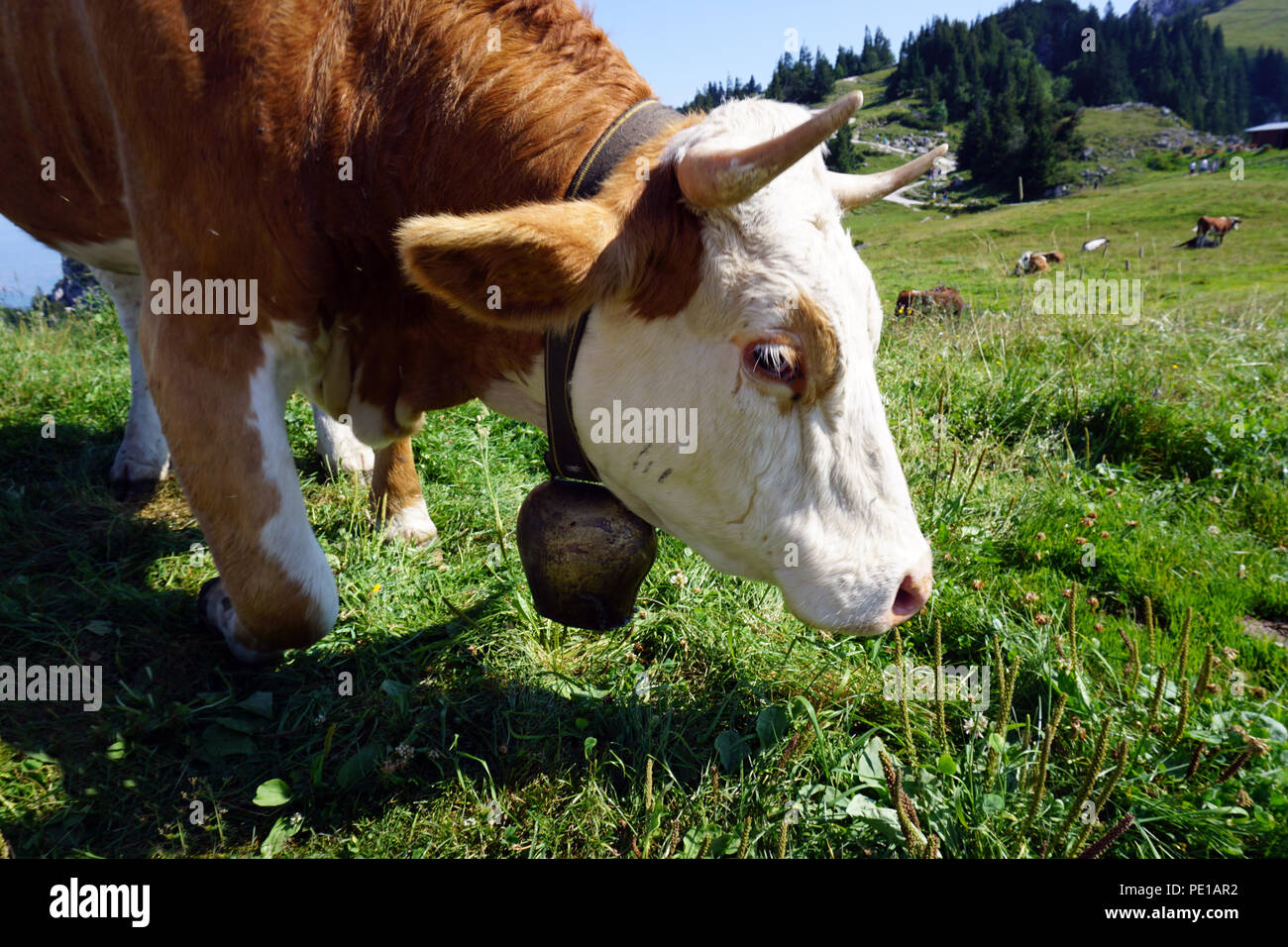 brown white spotted cow at meadow in summer sun - Stock Image