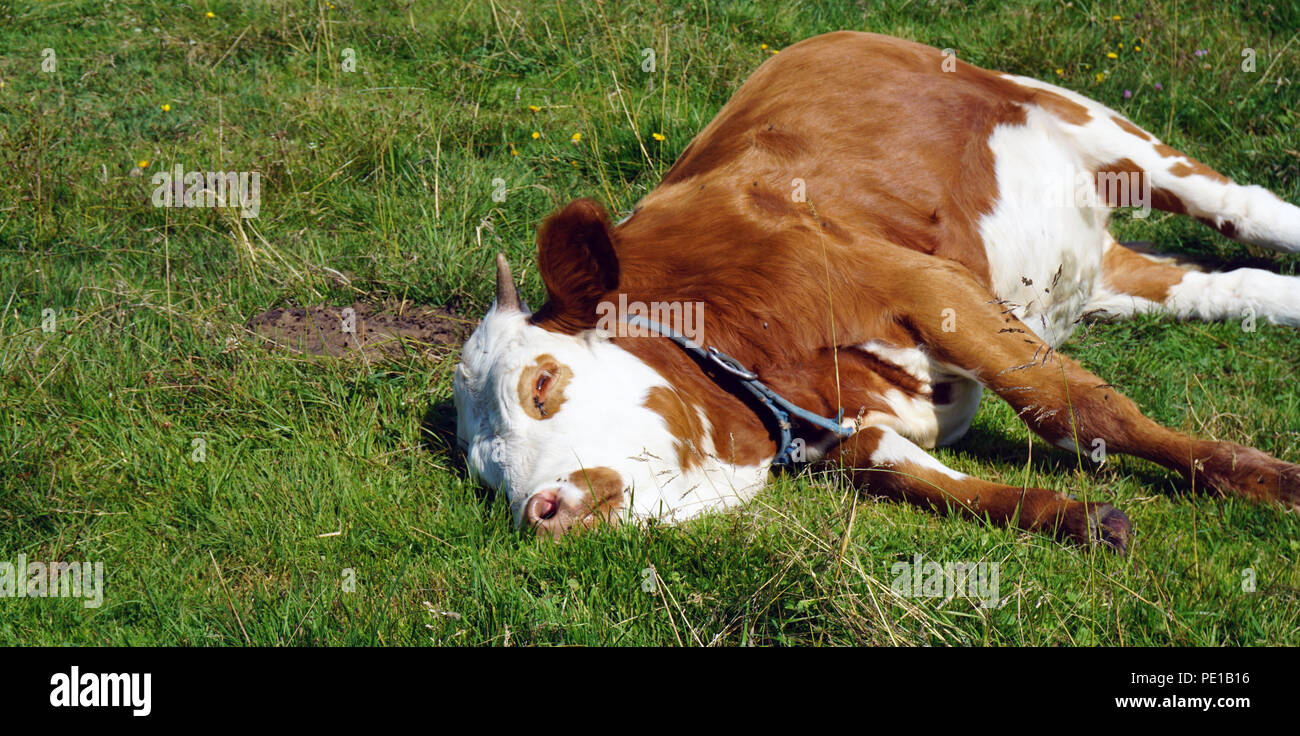 sleeping brown white cow at meadow - Stock Image