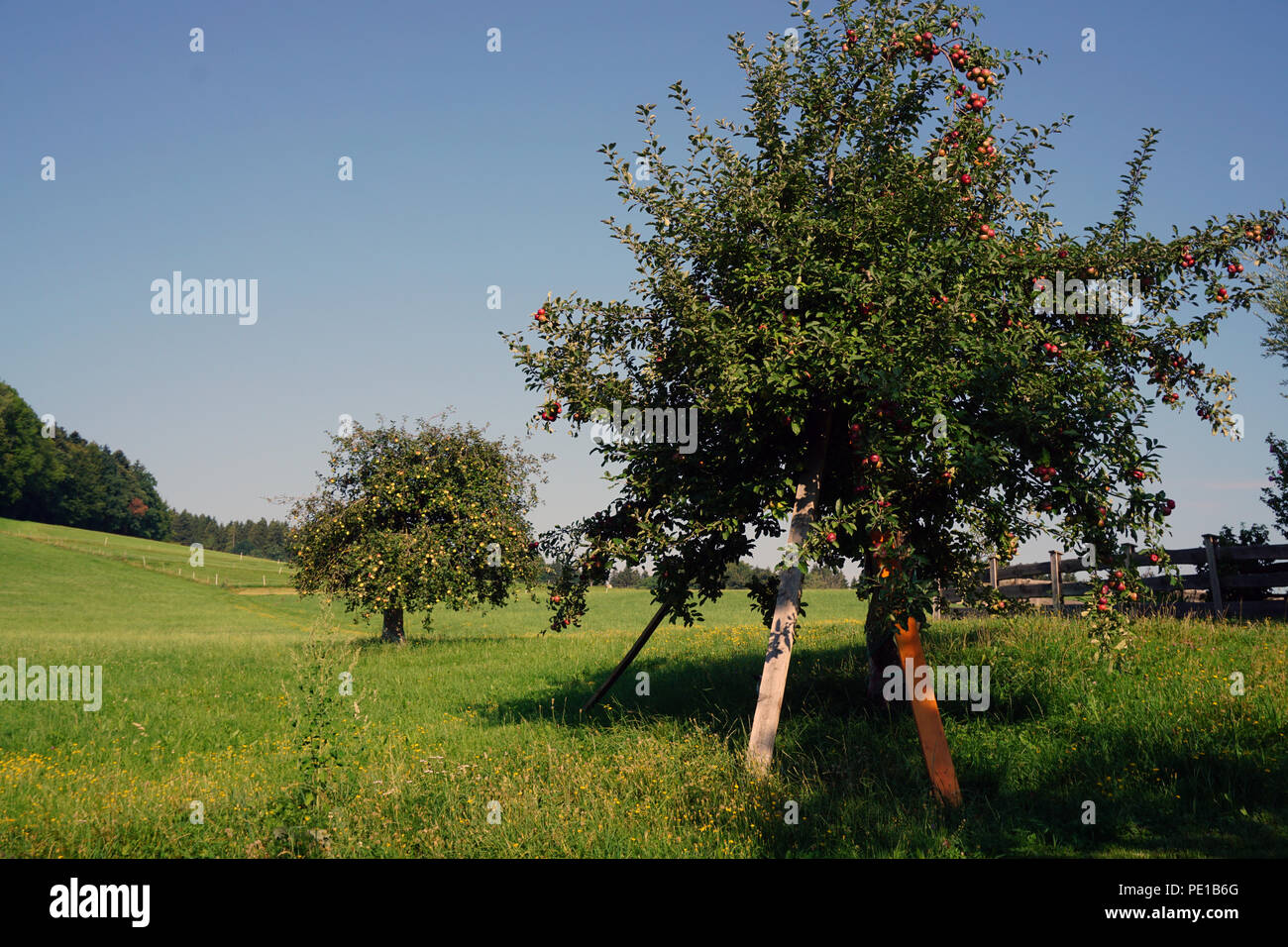 fruit tree at meadow - Stock Image