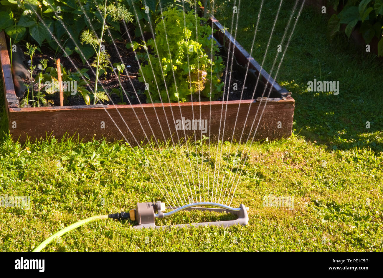 Oscillating sprinkler - Stock Image