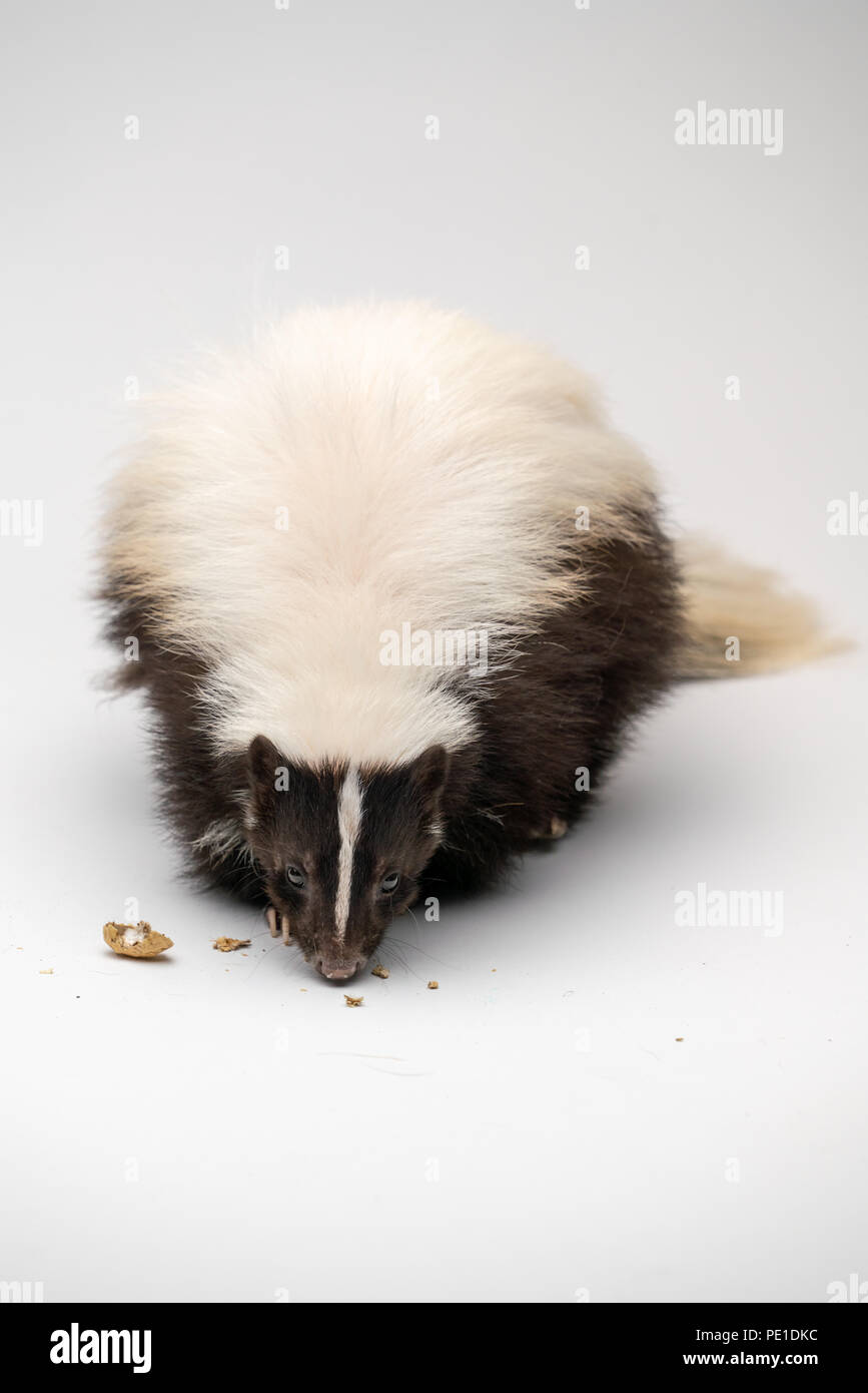 Striped Skunk - Mephitis mephitis in front of a white background - Stock Image