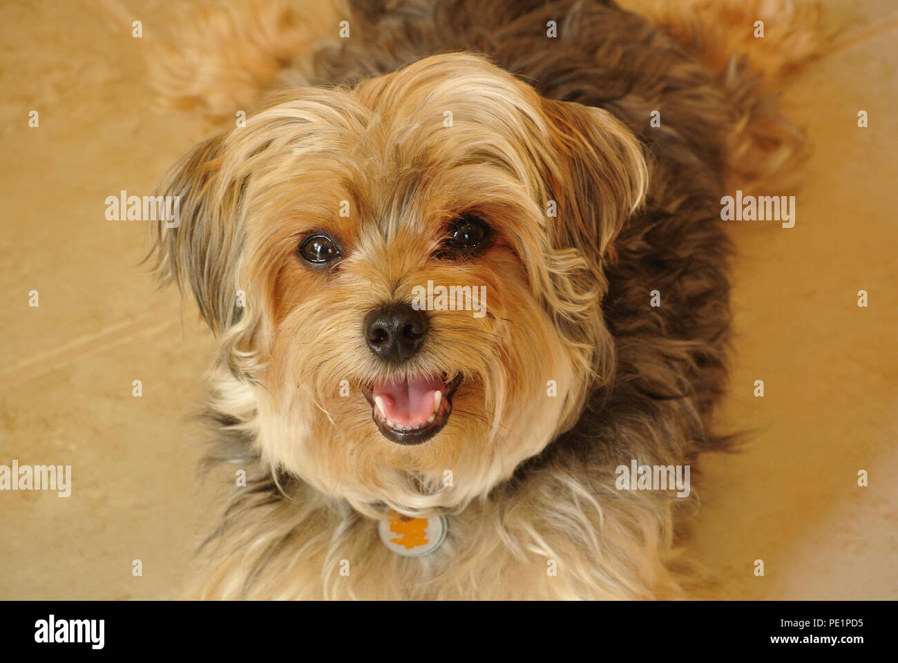 A close-up of a cute and fluffy little brown dog,  Morkie, lying on a ceramic floor and looking up , beige background - Stock Image