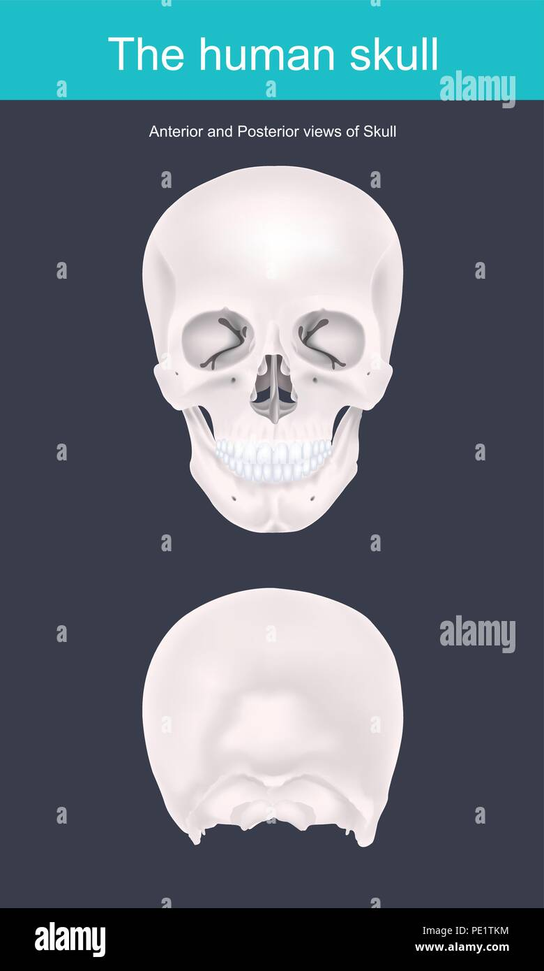 The human skull is the bony structure that forms the head in the human skeleton. It supports the structures of the face and forms a cavity for the bra - Stock Image
