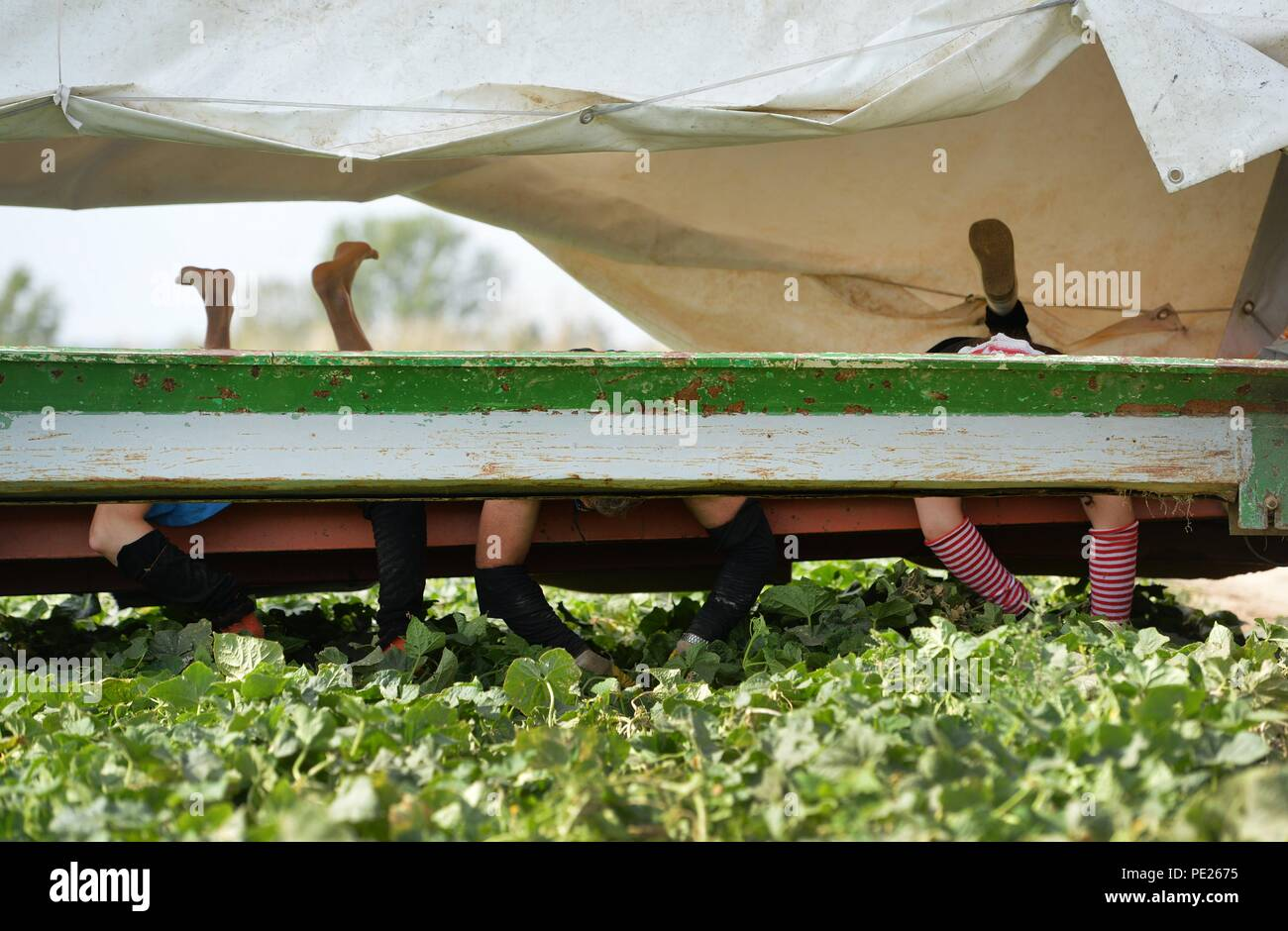 Niederdorla, Germany. 09th Aug, 2018. Lying on their stomachs and driving backwards on the 'Gurkenflieger' tractor, Polish helpers harvest cucumbers on fields in the Unstrut-Hainich district. Credit: Frank May/dpa/Alamy Live News - Stock Image