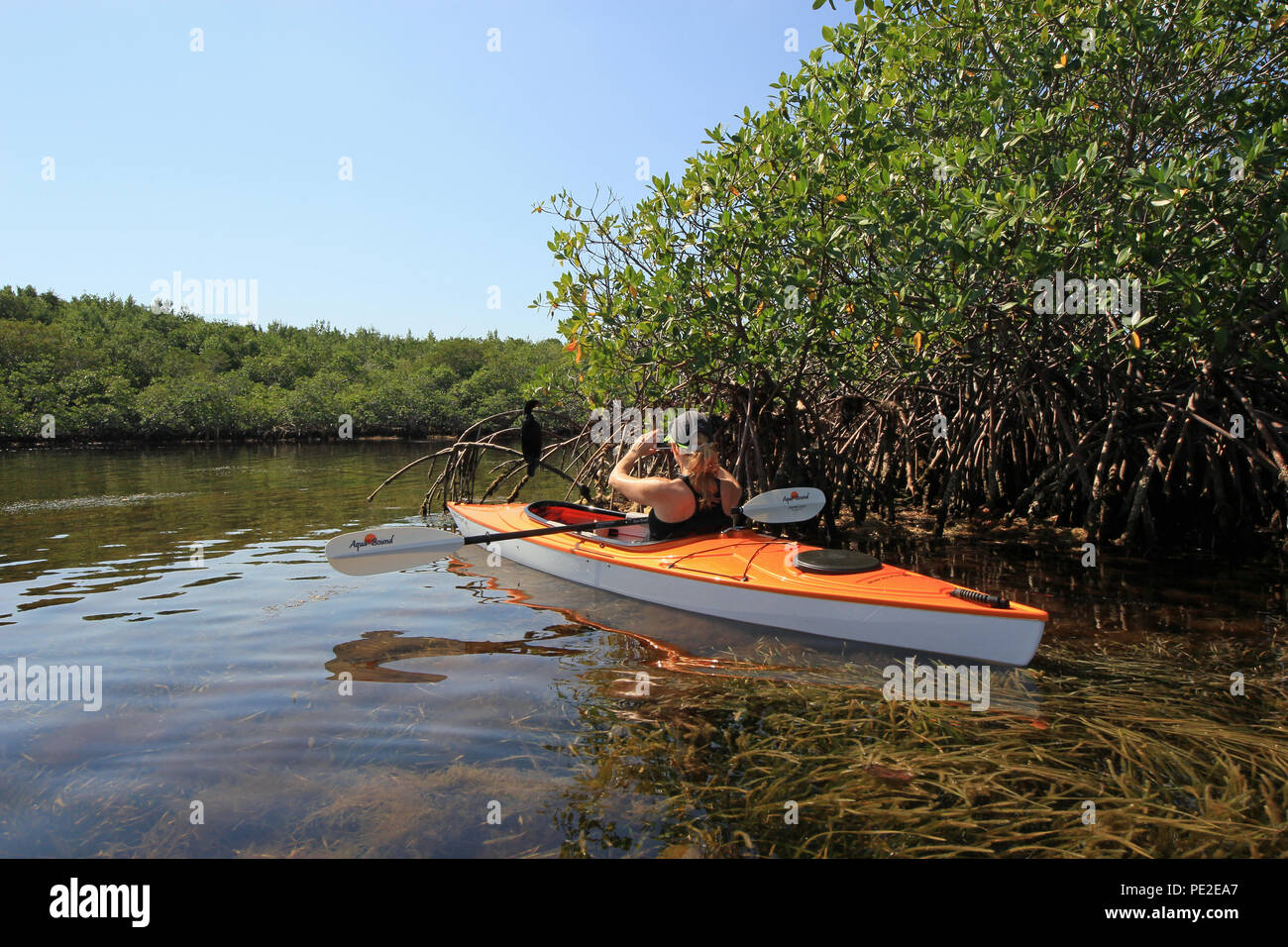 Woman photographing a cormorant in the mangroves at extremely close range while kayaking in Biscayne Bay, off Black Point, south of Miami, Florida. - Stock Image