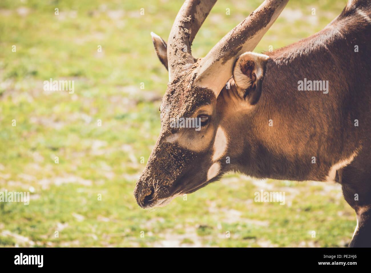 African Bongo (Tragelaphus eurycerus) walks along quietly on sandy grass in vintage garden setting - Stock Image