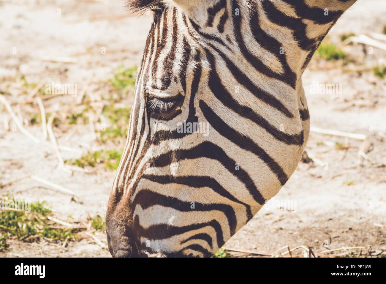 Zebra (Equus quagga) grazes on wild grass in sandy soil in a vintage garden setting - Stock Image
