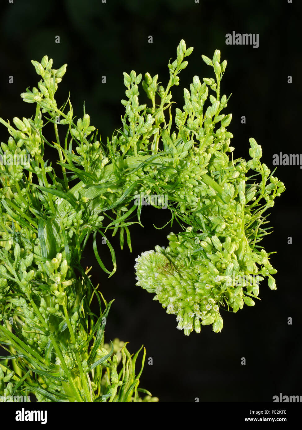 Fasciation on Canadian Fleabane, Conyza canadensis - Stock Image