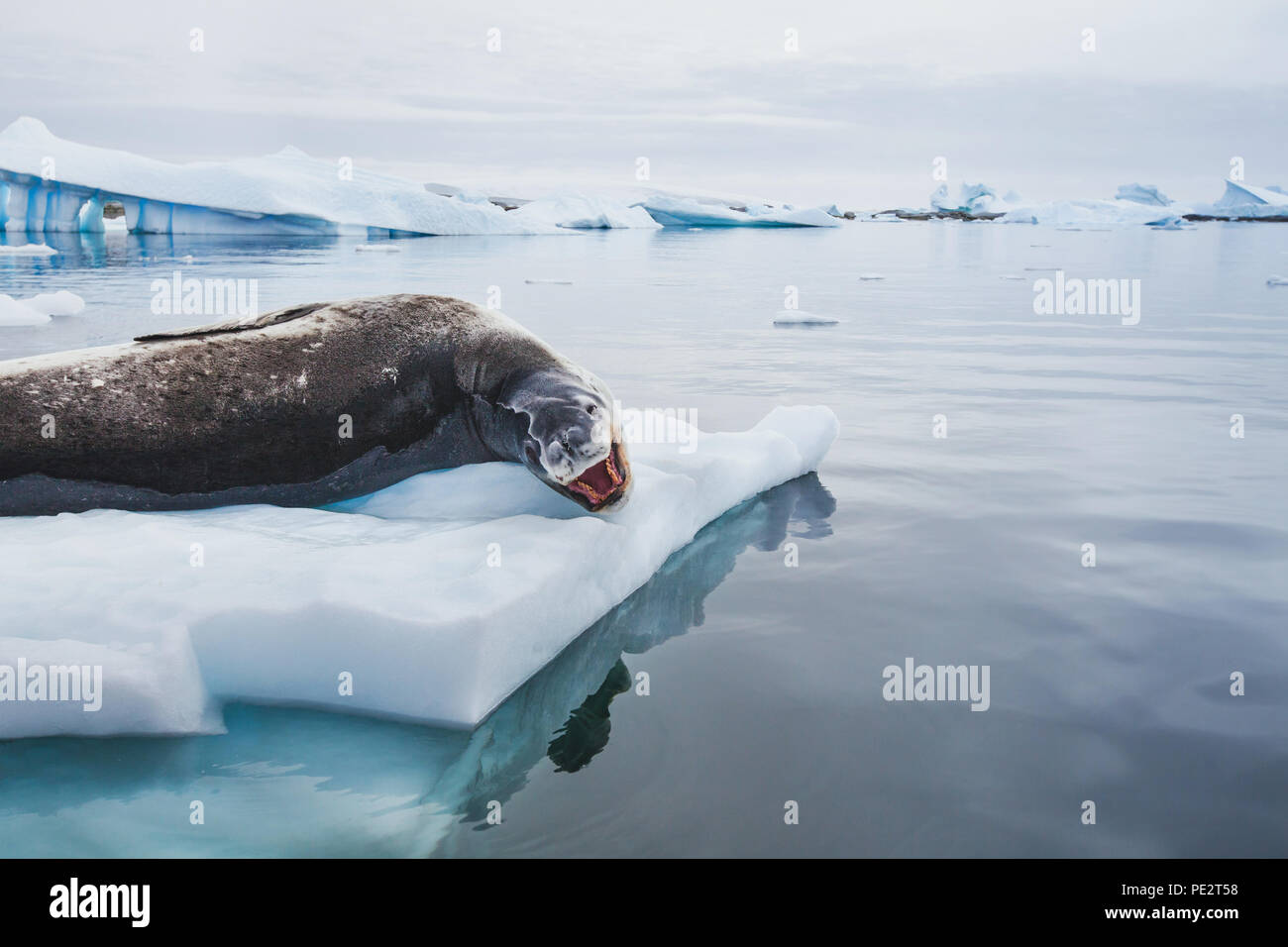 leopard seal with open mouth resting on iceberg in Antarctica Stock Photo