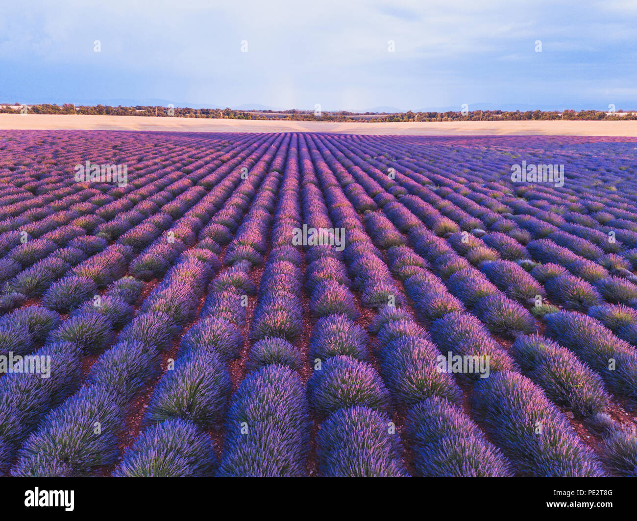 Lavender Field In Provence France Beautiful Landscape With Purple