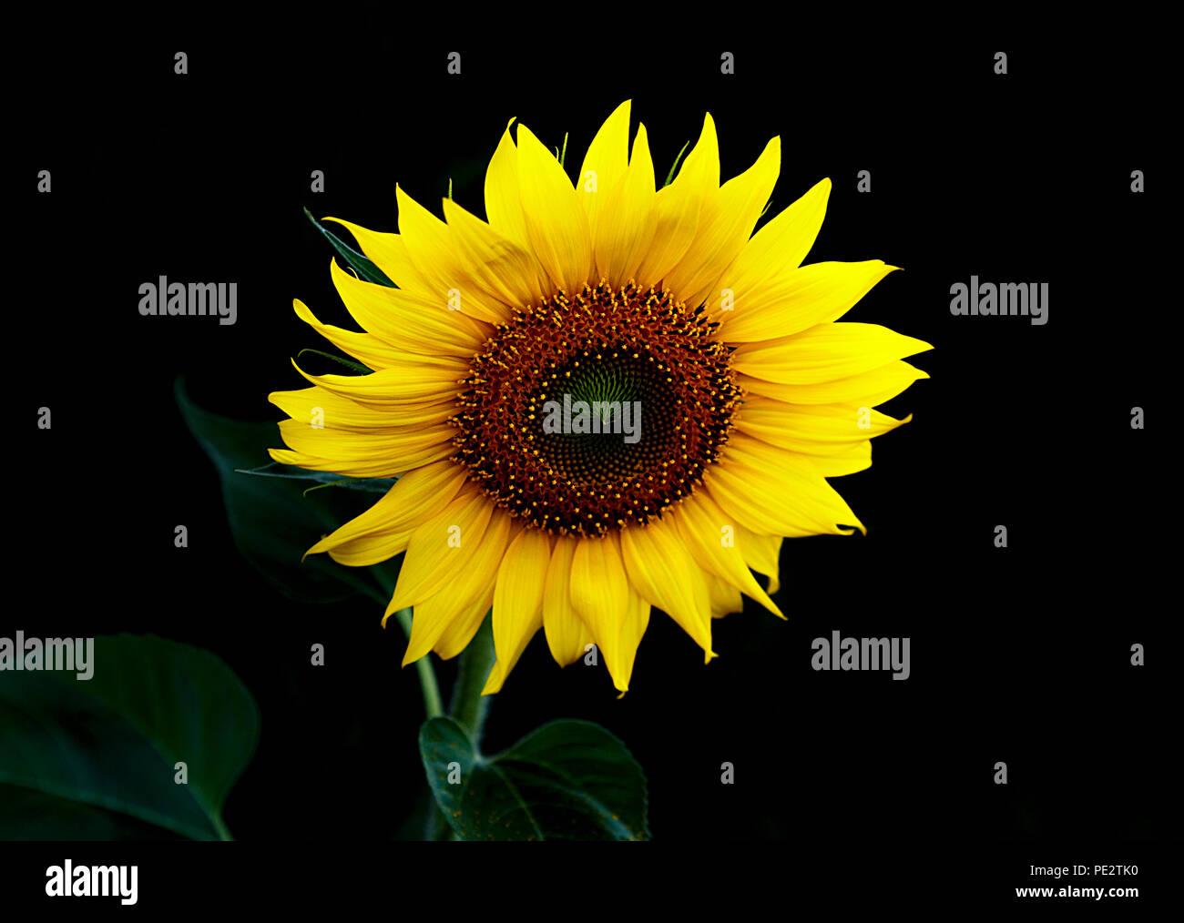 sunflower in the dark II Stock Photo
