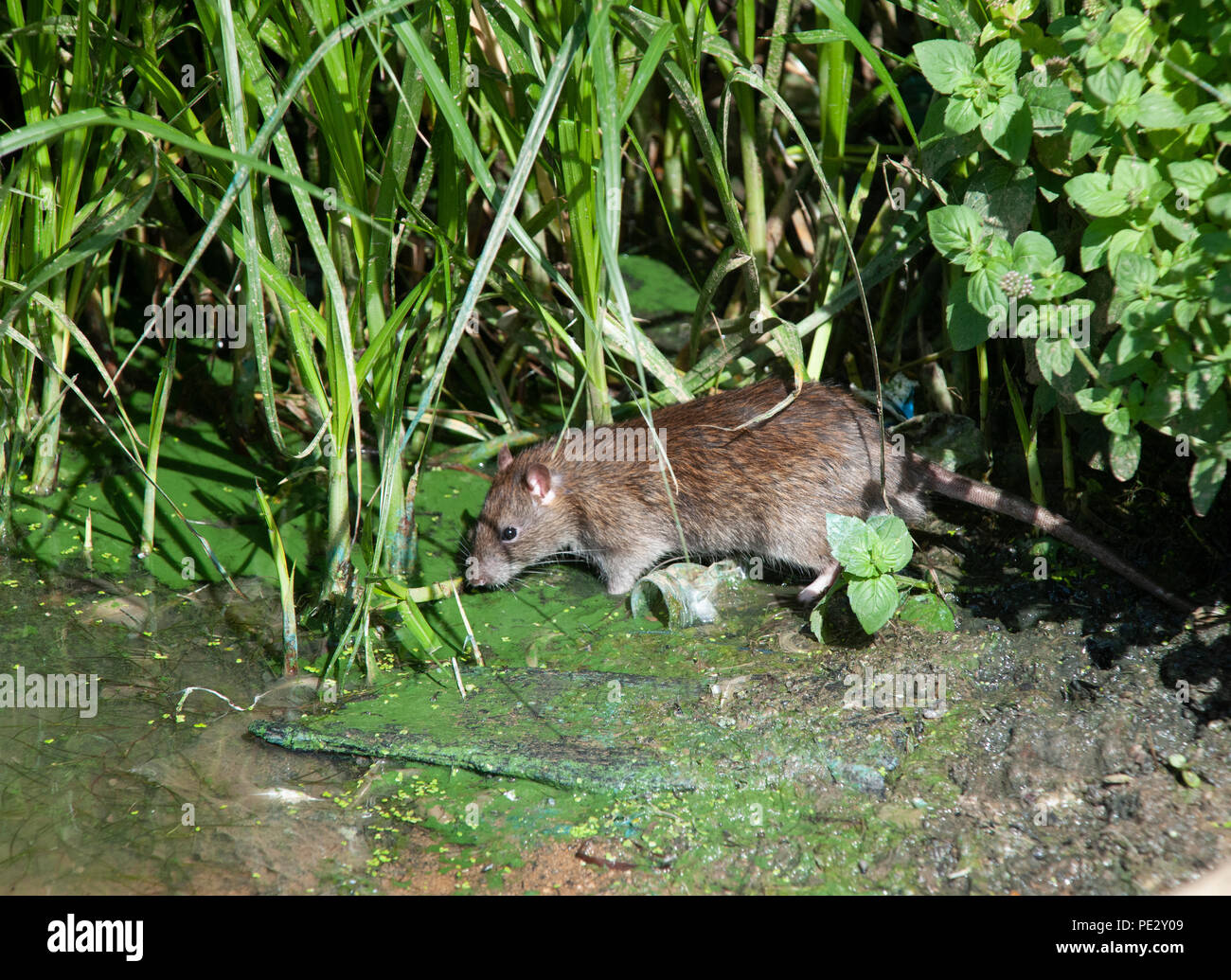 Brown Rat, (Rattus norvegicus), River Brent, near Brent Reservoir, also known as Welsh Harp Reservoir, Brent, London, United Kingdom - Stock Image