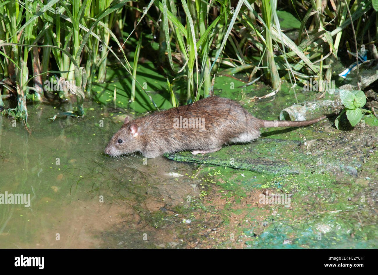 Brown Rat, (Rattus norvegicus), Brent River, near Brent Reservoir, also known as Welsh Harp Reservoir, Brent, London, United Kingdom - Stock Image