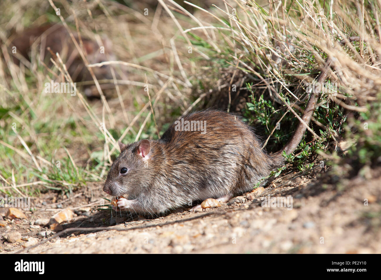 Brown Rat, (Rattus norvegicus), feeding on waste food, Brent Reservoir, also known as Welsh Harp Reservoir, Brent, London, United Kingdom - Stock Image