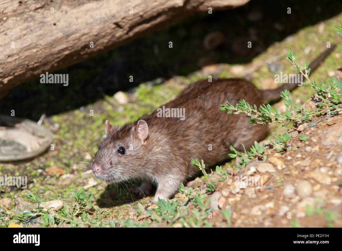 Brown Rat, (Rattus norvegicus), Brent Reservoir, also known as Welsh Harp Reservoir, Brent, London, United Kingdom - Stock Image