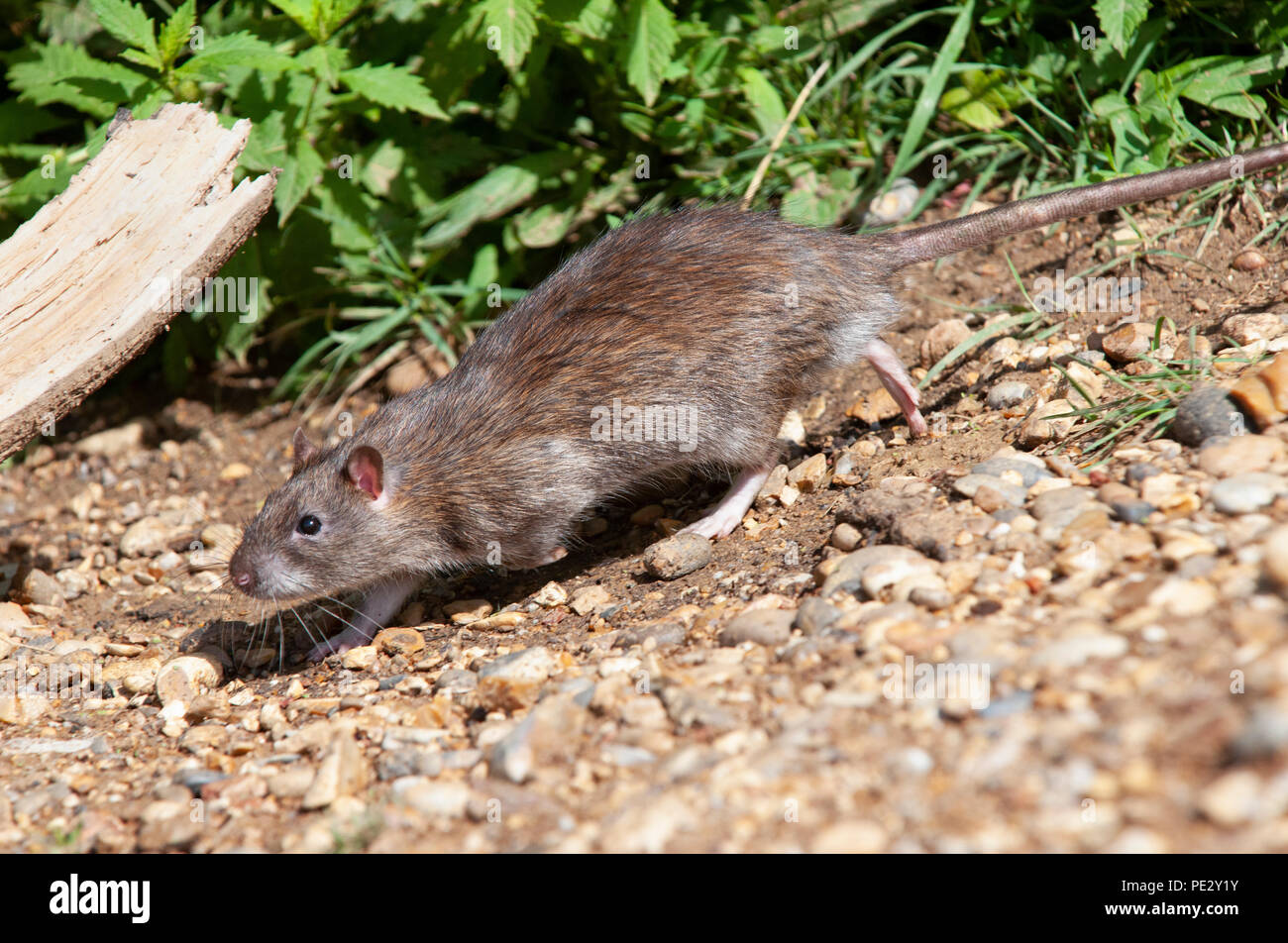 Brown Rat, (Rattus norvegicus), running on banks of Brent Reservoir, also known as Welsh Harp Reservoir, Brent, London, United Kingdom - Stock Image