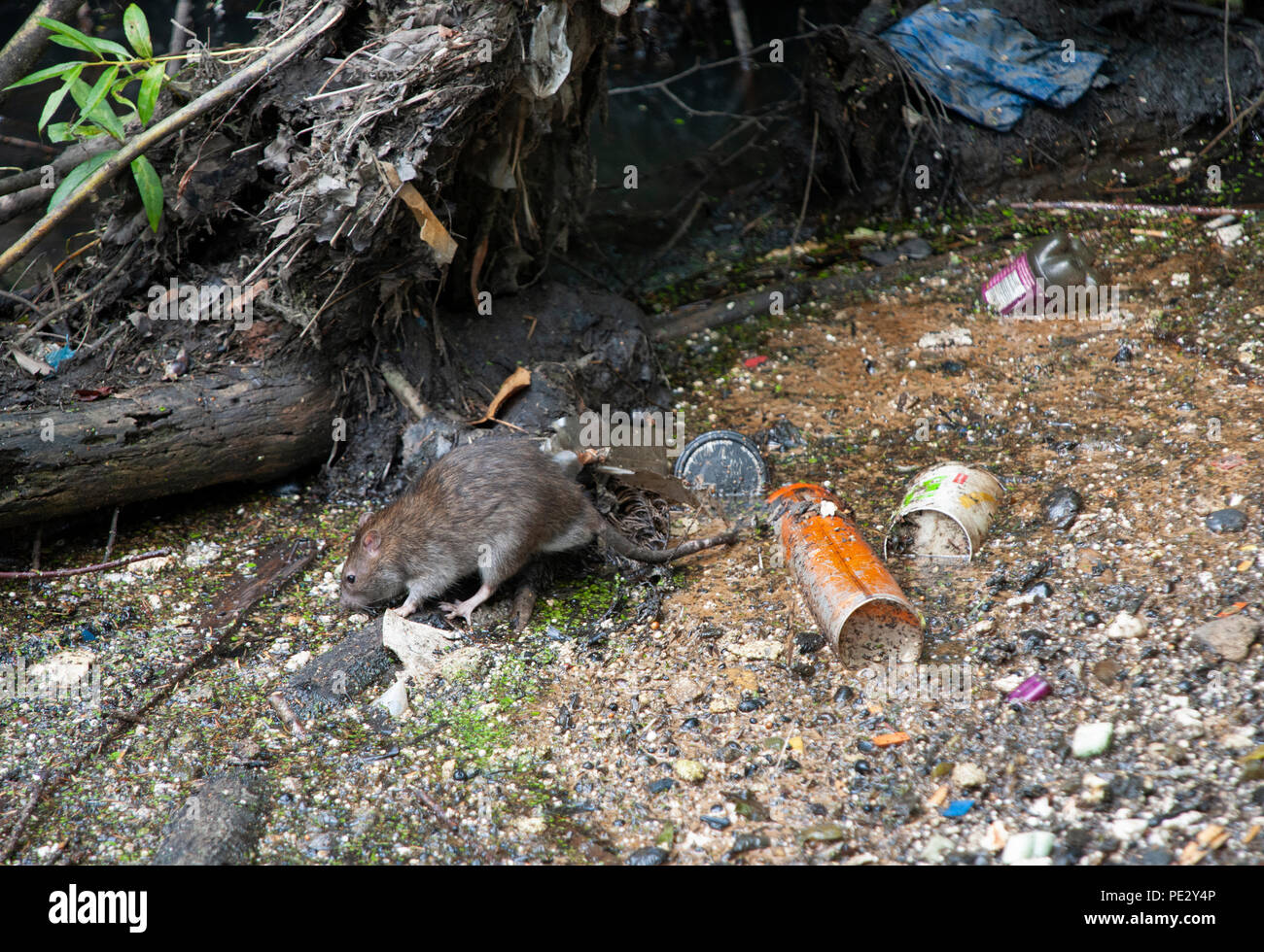 Brown Rat, (Rattus norvegicus), scavenging food amongst rubbish, River Brent , near Welsh Harp Reservoir, Brent, London, United Kingdom - Stock Image