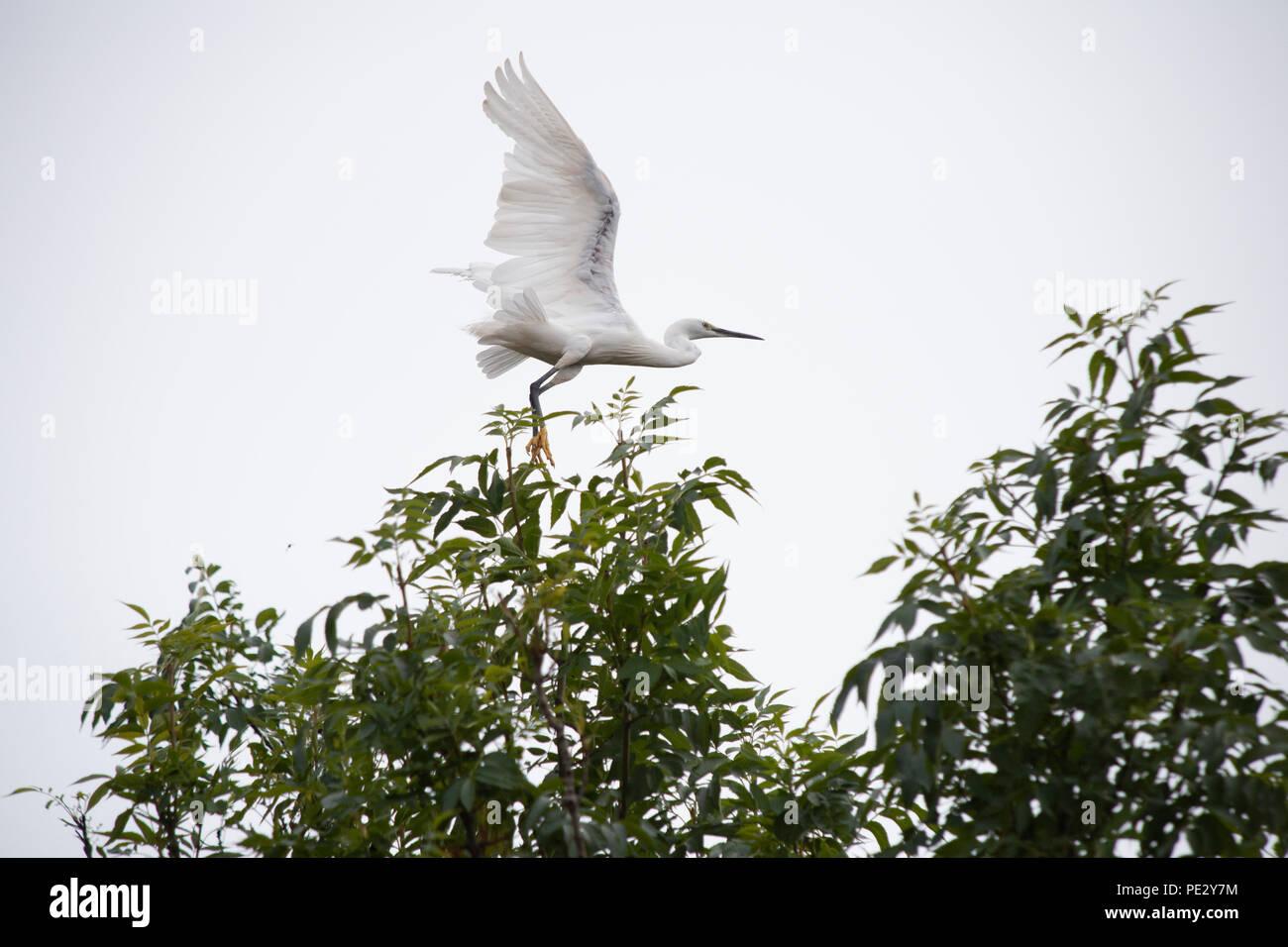 Little Egret,(Egretta garzetta), taking flight, Brent River, near Brent Reservoir, also known as Welsh Harp Reservoir, north London, United Kingdom - Stock Image