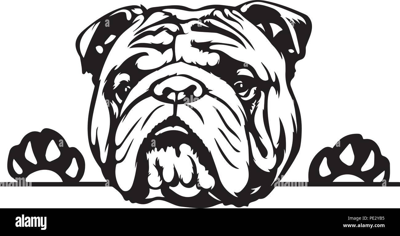 English Bulldog Breed Pet Puppy Isolated Head Face Stock Vector