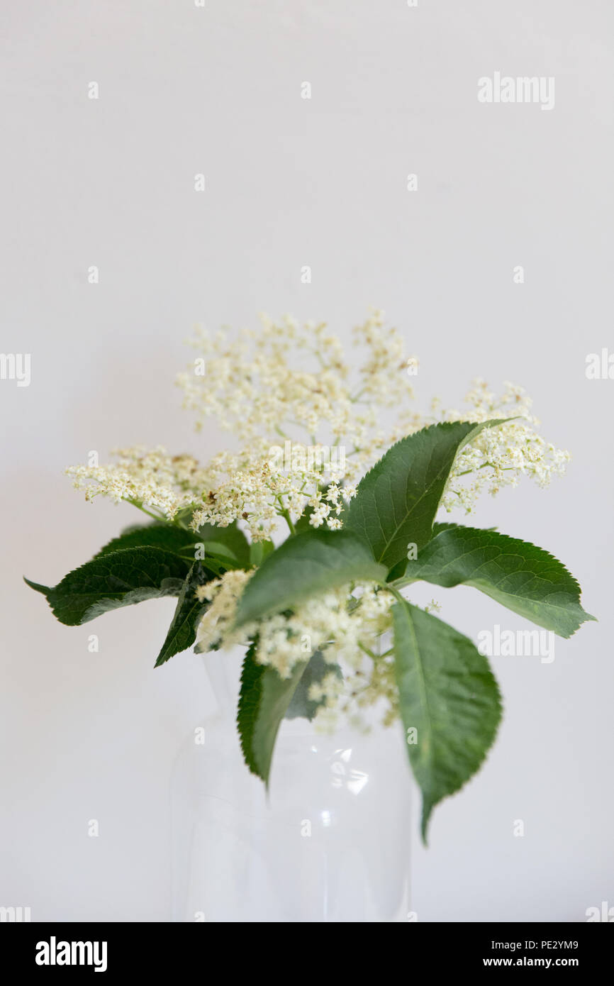 Elderflower in a vase - Stock Image