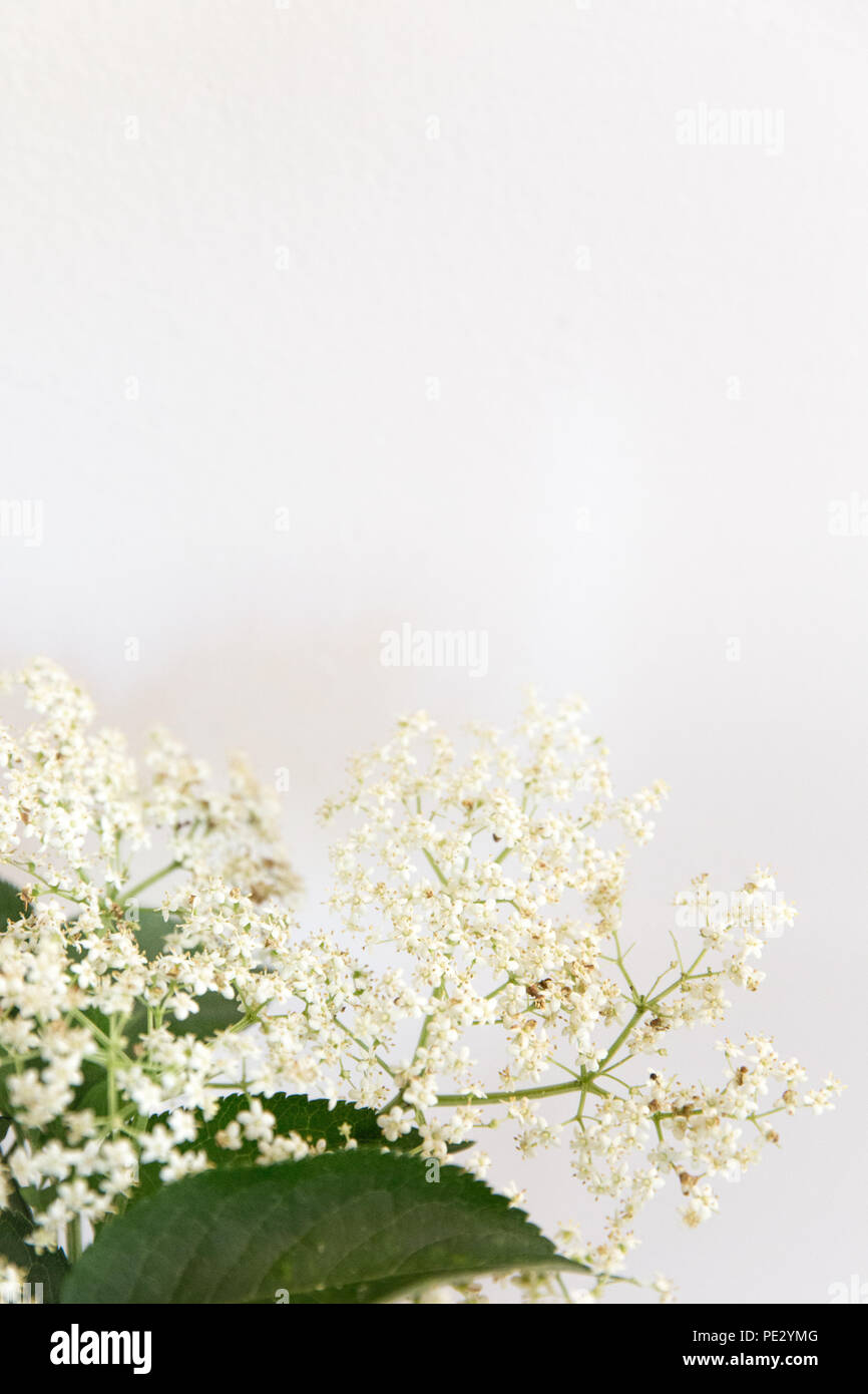 Elderflowers on a white background - Stock Image