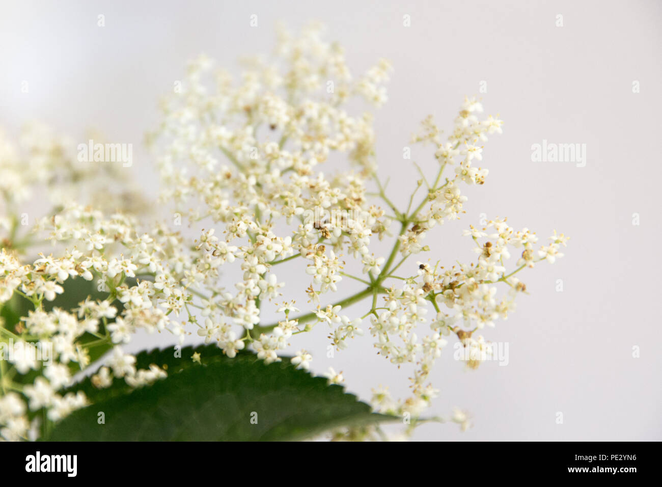 Elderflowers - Stock Image