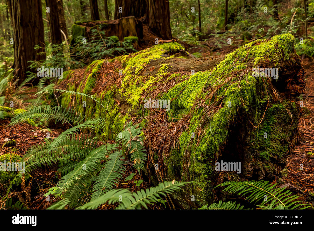 Mossy tree trunk and fern amongst giant sequoia trees the Redwoods Forest in California - Stock Image