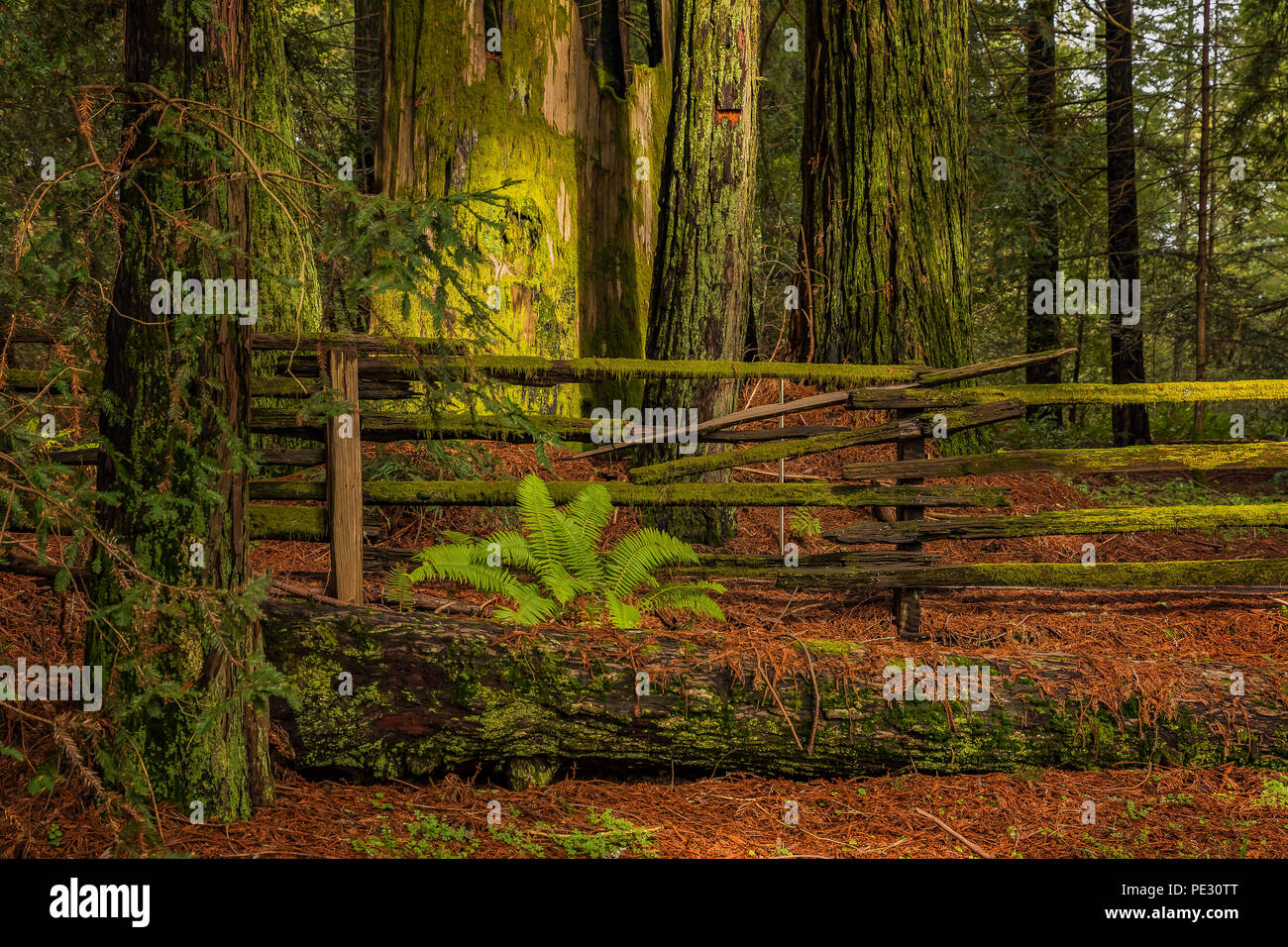 Mossy tree trunk and fern by a fence amongst giant sequoia trees the Redwoods Forest in California - Stock Image