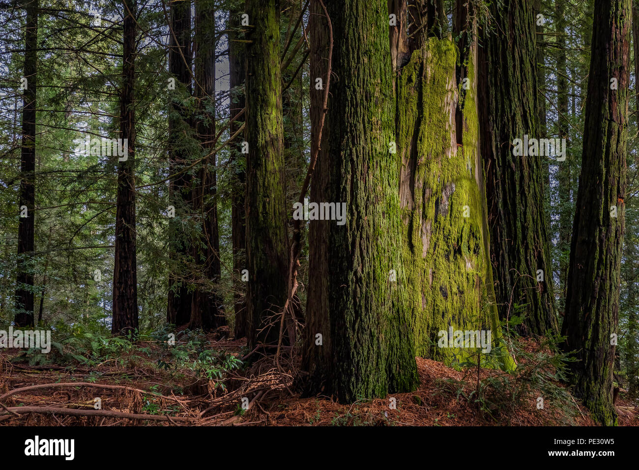 Sunbeam hitting a giant mossy sequoia tree trunk in the Redwoods Forest in California - Stock Image