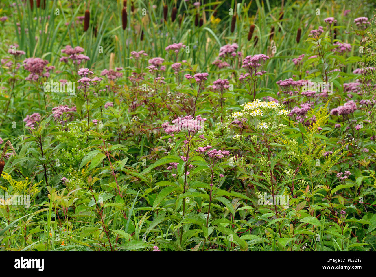Late summer wetland flowers- joe-pye weed and aster, Greater Sudbury, Ontario, Canada - Stock Image