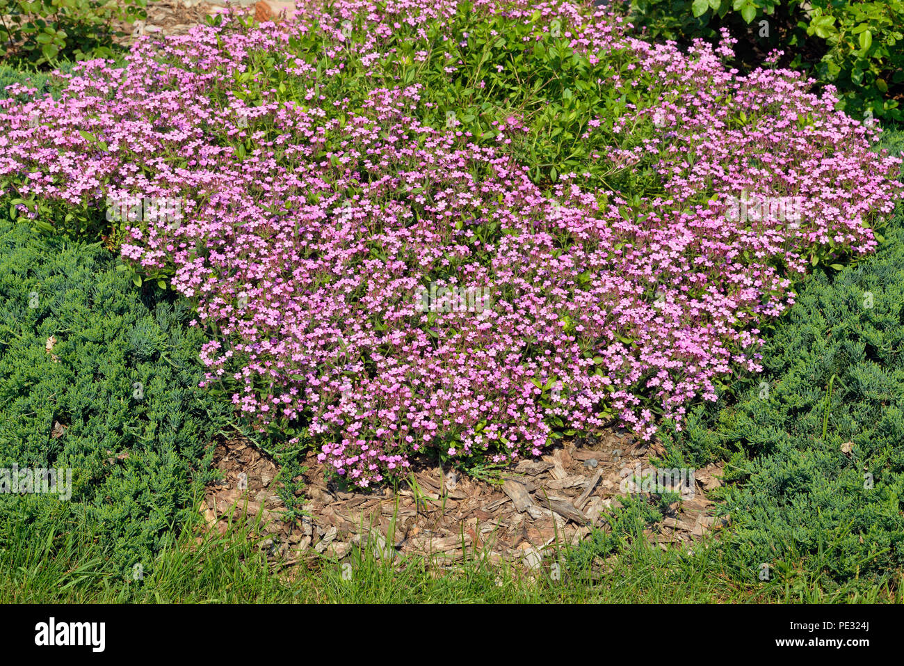 Flowering heather shrub, Greater Sudbury, Ontario, Canada - Stock Image