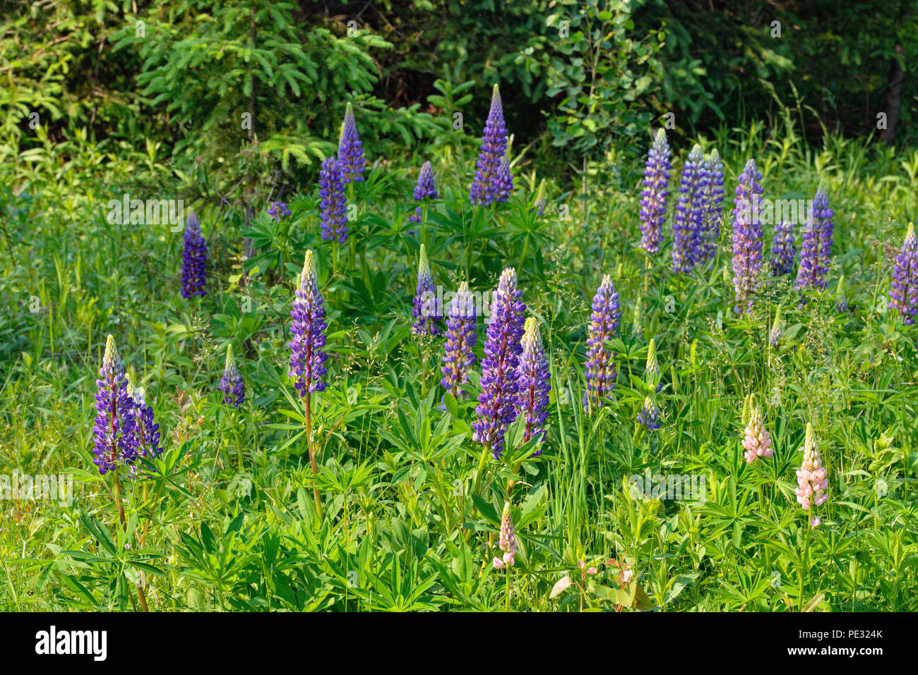 Escaped lupines in bloom, Greater Sudbury, Ontario, Canada - Stock Image