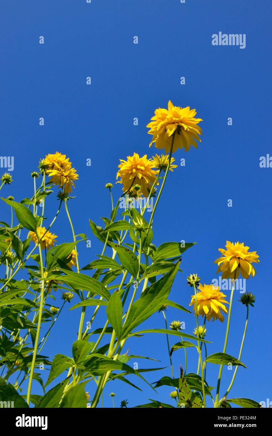 Yellow chrysanthemums, Greater Sudbury, Ontario, Canada - Stock Image
