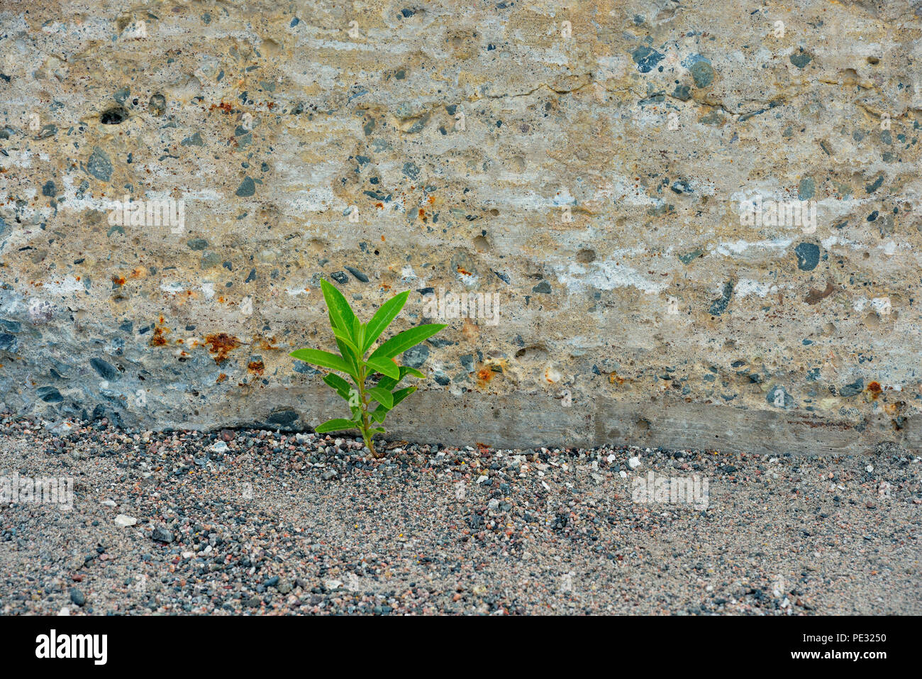 Goldenrod seedling in gravel near concrete curb, Greater Sudbury, Ontario, Canada - Stock Image