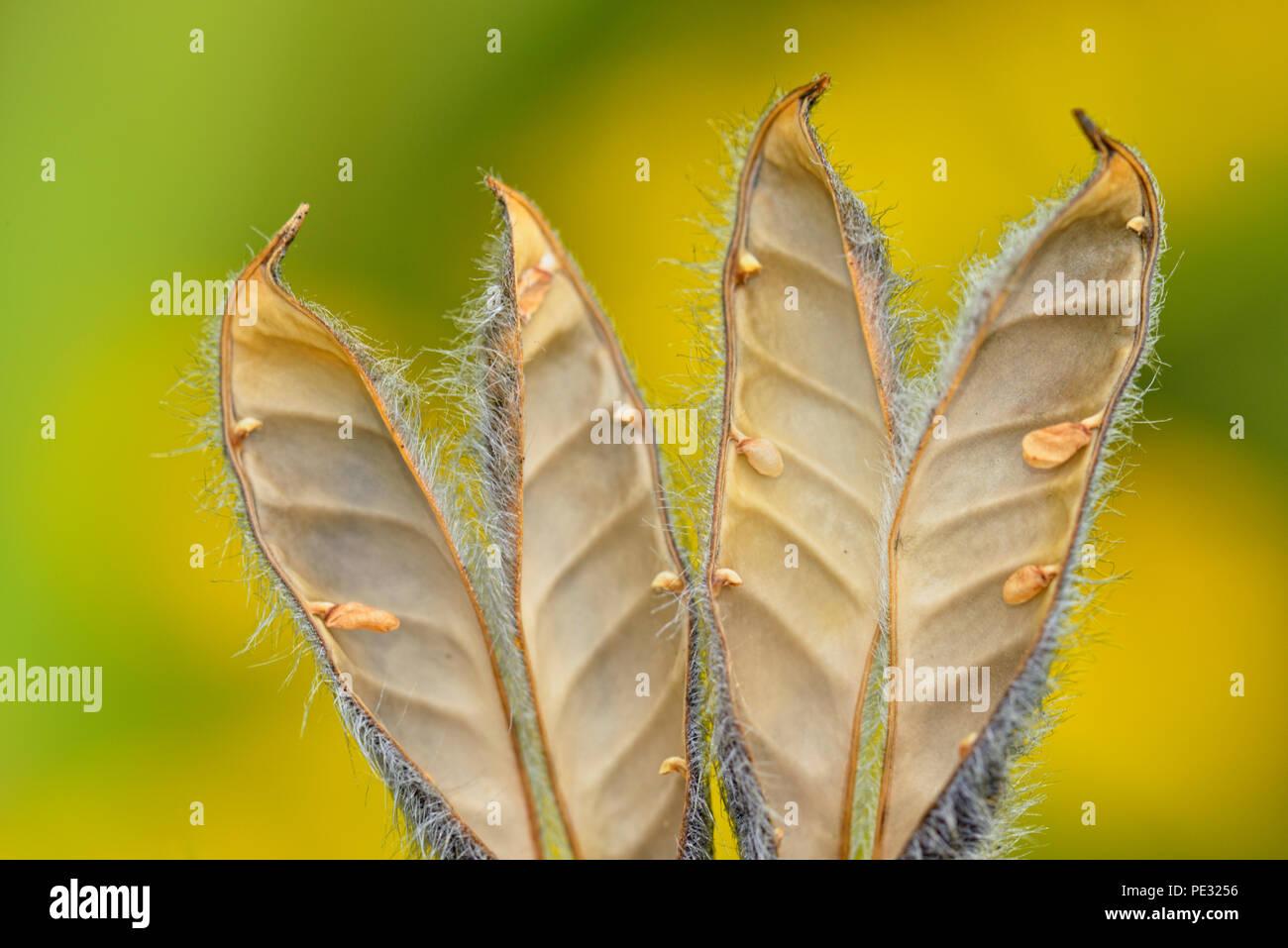 Lupine (Lupinus spp) Empty seed pods, Greater Sudbury, Ontario, Canada - Stock Image