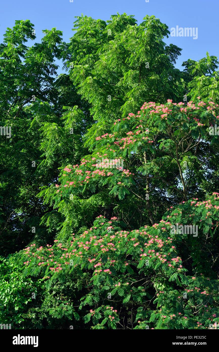 Mimosa tree (Albizia julibrissin) in bloom, Table Rock SP, Branson, Missouri, USA - Stock Image