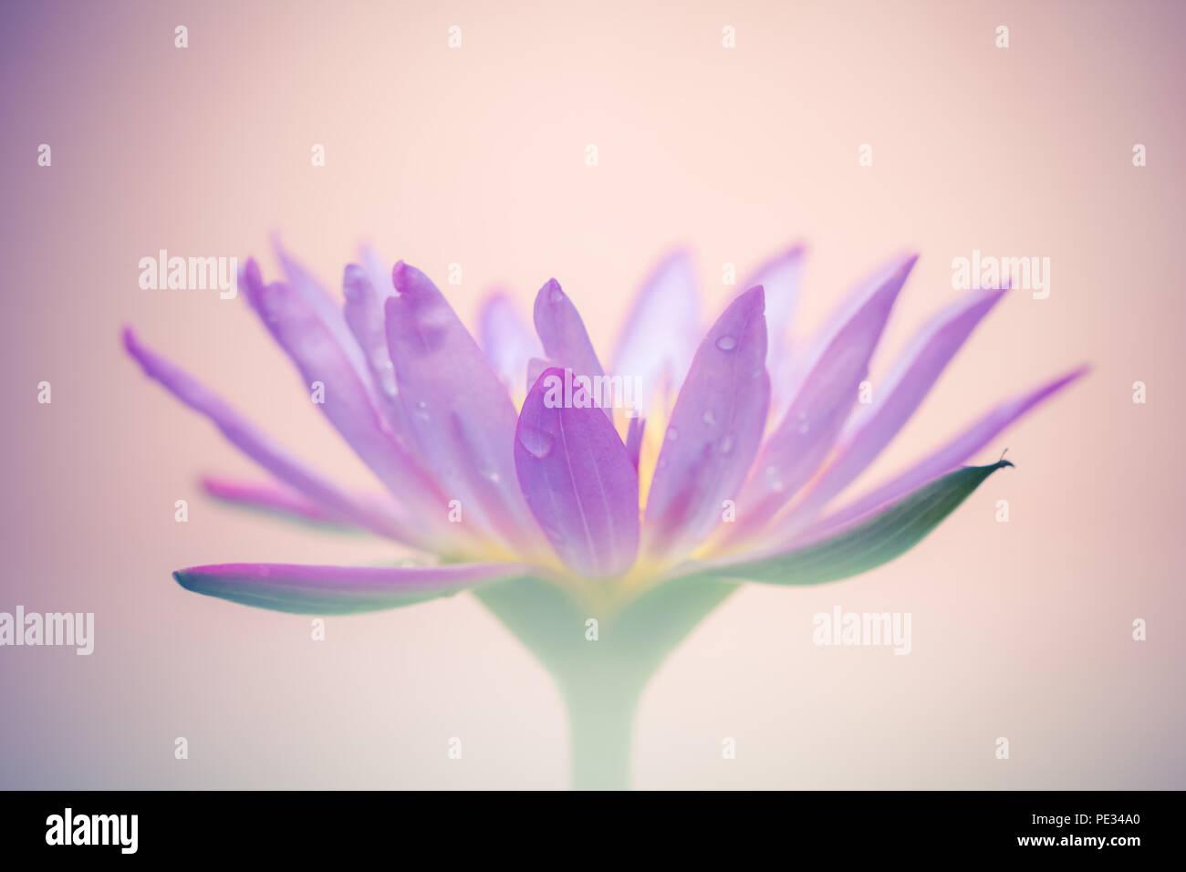 Lotus flower as symbol stock photos lotus flower as symbol stock the appearance of a purple lotus flower is a beautiful symbol of buddhism stock mightylinksfo