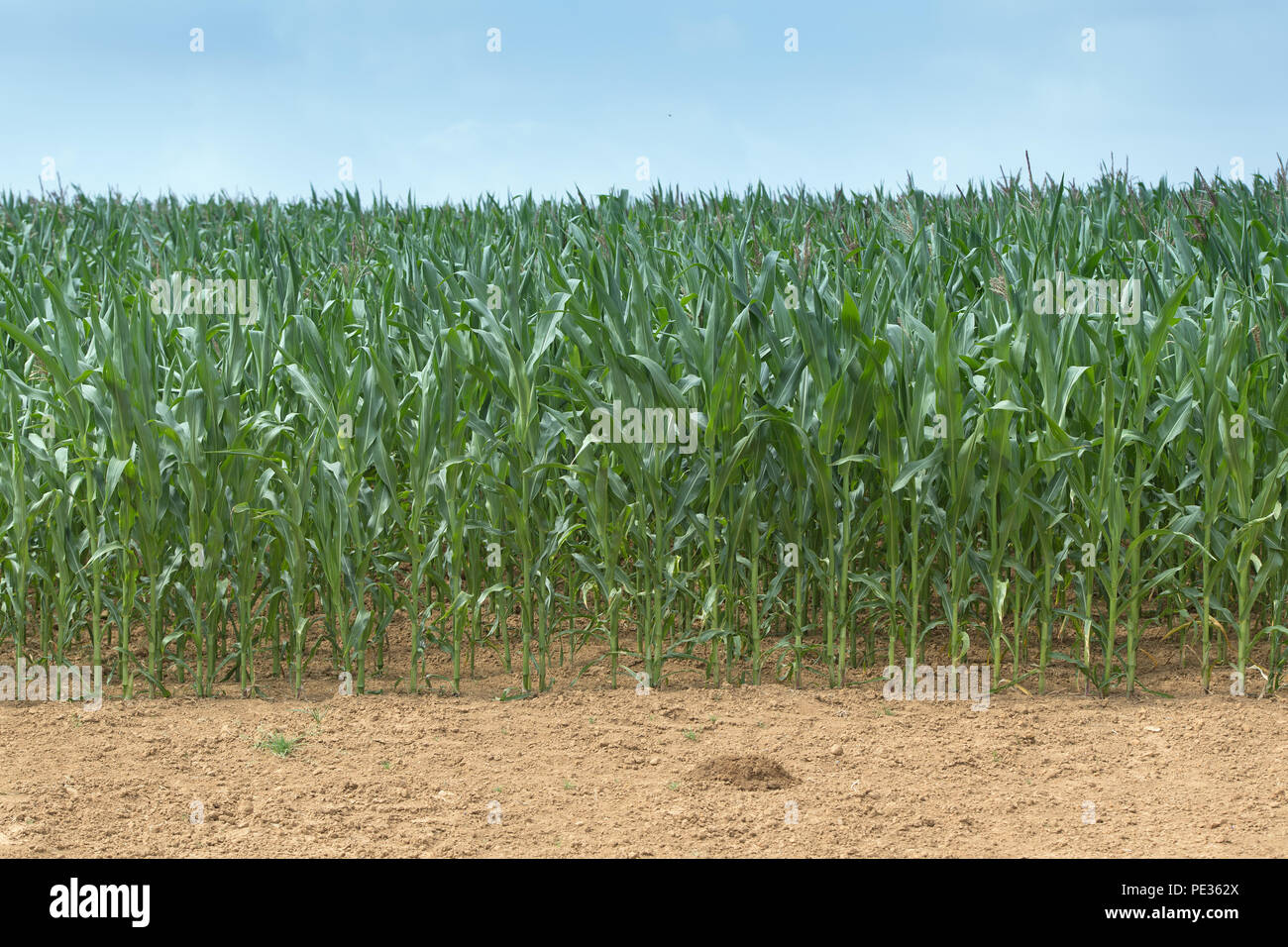 Maize crop growing well in a hot summer. Cotswolds, UK. - Stock Image