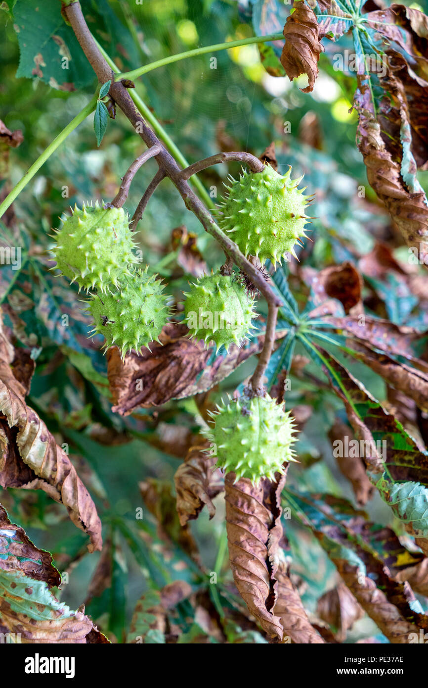 Guignardia aesculi leaf blotch in Horse Chestnut tree with conkers - Stock Image