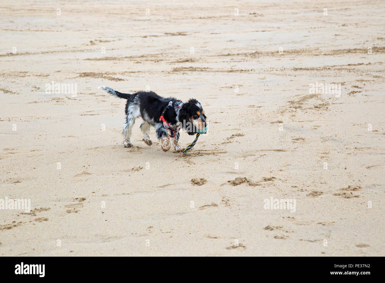 A beautiful multi coloured cocker spaniel puppy plays on a golden sandy beach on a sunny day. - Stock Image