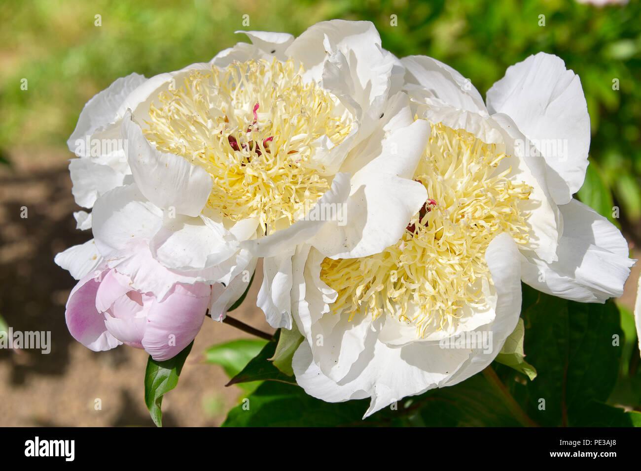 Closeup White And Yellow Chinese Peony Flower Paeonia Lactiflora